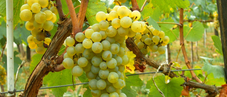 Saint Vincent : Traversée du vignoble de Chablis