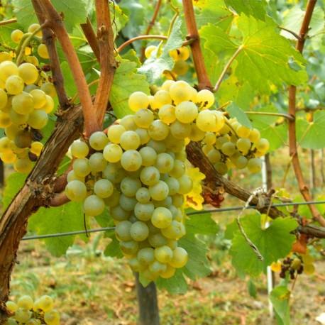 vignoble-chablis-a-pied-bourgogne