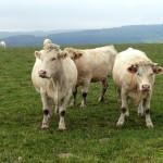 Les vaches charolaises du Morvan ne regardent pas passer les trains mais les VTTistes !