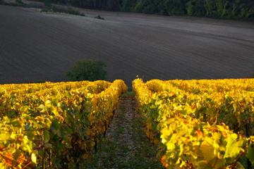 Vignes, Bourgogne