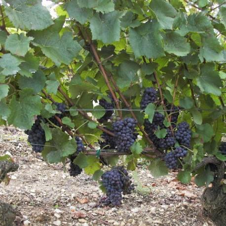 Cep de pinot noir, vignoble d'Irancy (Bourgogne)